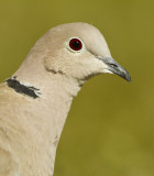 Turkduva - Collared dove (Streptopelia decaocto)