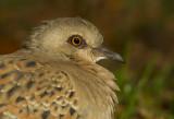 Turturduva - European Turtle Dove (Streptopelia turtur)