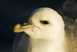 Stormfågel - Northern fulmar (Fulmarus glacialis)