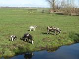 Jacobschapen (ongehoornd)  aan de Slangeweg