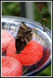 Butterfly Feeder