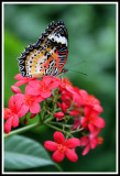 Posed Butterfly