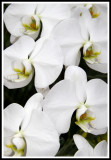 White Orchid Patterns