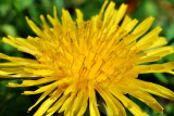 Dandelion - up close