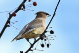 Cedar Waxwing in Crabapple Tree