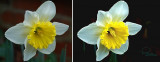 Daffodil - harbinger of spring