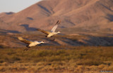 Sandhill Crane duo in flight