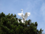 Great Egrets: Breeding Season Behavior