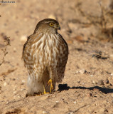 Cooper's Hawk in the Sonoran Desert