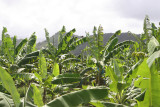Bananas - #1 Export of St. Lucia