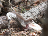 Long-tailed Weasel with Snowshoe Hare 5