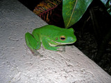 Beautiful tree frog perched on our balcony 22 April, 2007