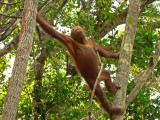 Its all about the Orangutans