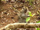 Monkies of Kota Kinabalu
