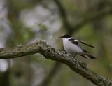 Halsbandsflugsnappare [C E Pied  Flycatcher] (IMG_0505)