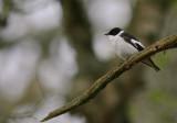 Halsbandsflugsnappare [C E Pied  Flycatcher] (IMG_0574)