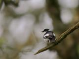 Halsbandsflugsnappare [C E Pied  Flycatcher] (IMG_0581)