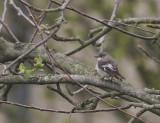 Halsbandsflugsnappare [C E Pied  Flycatcher] (IMG_2931)