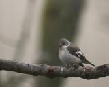 Halsbandsflugsnappare [C E Pied  Flycatcher] (IMG_2969)