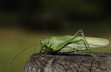 Grön vårtbitare (IMG_0473)