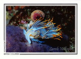 015   Opalescent nudibranch (Hermissenda crassicornis), Renate Reef, Barkley Sound