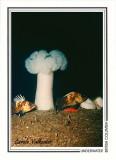 019   Plumose anemone (Metridium farcimen) and Quillback rockfish (Sebastes maliger), Tyler Rock, Barkley Sound