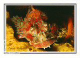 035   Red Irish Lord sculpin (Hemilepidotus hemilepidotus), Browning Passage, Queen Charlotte Strait