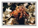 037   Armed hermit crab (Pagurus armatus), Juan de Fuca Strait