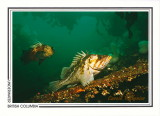 046   Copper rockfish (Sebastes caurinus) and Quillback rockfish (Sebastes maliger), Juan de Fuca Strait