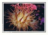 074   Crimson anemone (Cribrinopsis fernaldi), Rosedale Reef, Juan de Fuca Strait