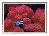 098   Maroon hermit crab (Pagurus hemphilli) on soft coral (Eunephtya rubiformis), Ann's Wall, Slingsby Channel