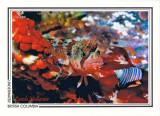 127   Mosshead warbonnet (Chirolophis nugator), Gabriola Pass