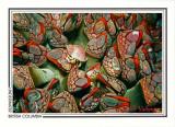130   Gooseneck barnacles (Pollicipes polymerus), Nakwakto Rapids, Slingsby Channel
