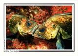149   Quillback rockfish (Sebastes maliger), Richmond Reef, Quadra Island area