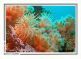 173   Crimson anemones (Cribrinopsis fernaldi) and soft coral (Eunephtya rubiformis), Browning Passage, Queen Charlotte Strait