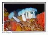 180   Giant plumose anemone (Metridium farcimen), Browning Passage, Queen Charlotte Strait
