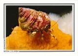 181   Greenmark hermit crab (Pagurus caurinus), Browning Passage, Queen Charlotte Strait