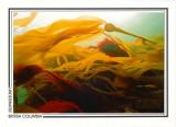 183   Bull kelp (Nereocystis luetkeana), Discovery Passage, Quadra Island area