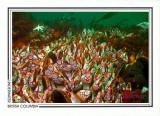 192   Gooseneck barnacles (Pollicipes polymerus), Nakwakto Rapids, Slingsby Channel