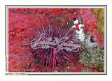 200   Giant red sea urchin (Strongylocentrotus franciscanus), Quadra Island