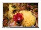 207   Calcareous tubeworm (Serpula columbiana), Calvert Island, Fitz Hugh Sound, Queen Charlotte Sound