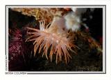 213   Crimson anemone (Cribrinopsis fernaldi), Browning Passage, Queen Charlotte Strait