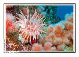 215   Crimson anemone (Cribrinopsis fernaldi) and soft coral (Eunephtya rubiformis), Browning Passage, Queen Charlotte Strait