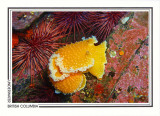 217   Orange-peel nudibranch/sea slug (Tochuina tetraquetra), Browning Passage, Queen Charlotte Strait