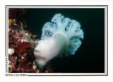 218   Giant plumose anemone (Metridium farcimen), Browning Passage, Queen Charlotte Strait