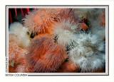 223   Short plumose anemones (Metridium senile), Browning Passage, Queen Charlotte Strait
