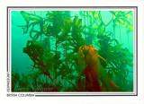 225   Bull kelp (Nereocystis luetkeana), Crocker Rock, Queen Charlotte Strait