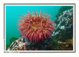 226   Fish-eating anemone (Urticina piscivora), Browning Passage, Queen Charlotte Strait