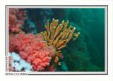 228   Glove sponge (Amphilectus digitatus), Browning Passage, Queen Charlotte Strait