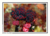 231   Feather-duster tubeworms ((Eudistylia vancouveri), Race Rocks, Strait of Juan de Fuca